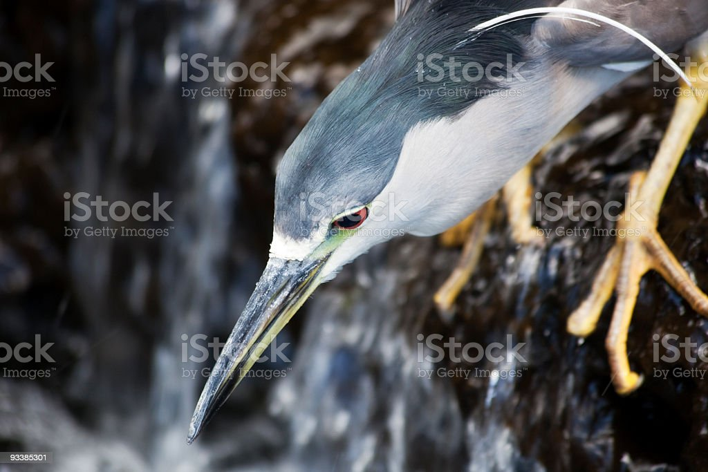 Wildlife Photo of Black Crowned Night Heron in Hawaii stock photo