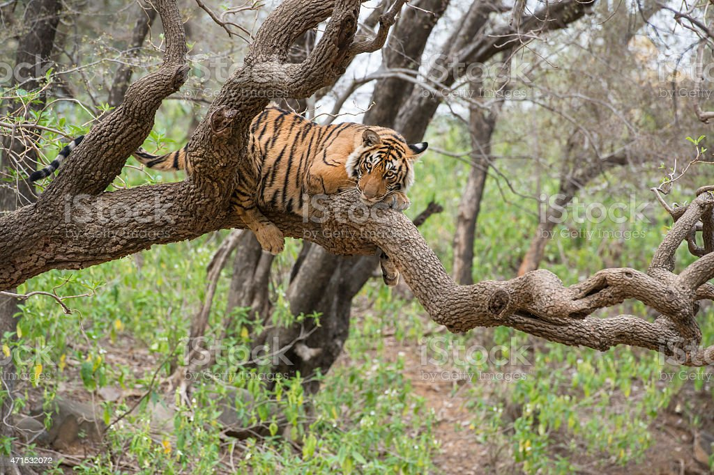 Wildlife photograph of Bengal tiger relaxing in tree stock photo