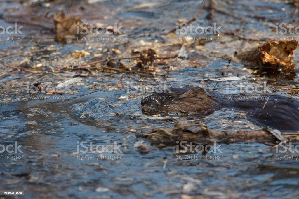 wildlife portrait of Beaver in the water. stock photo