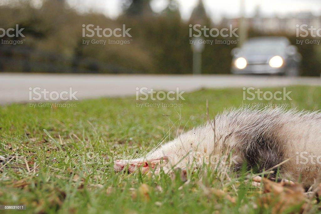 Wildlife Road Kill stock photo