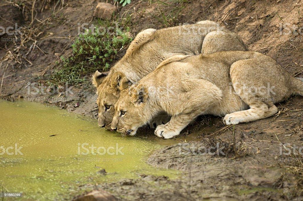 Wildlife Safari Series #4 royalty-free stock photo