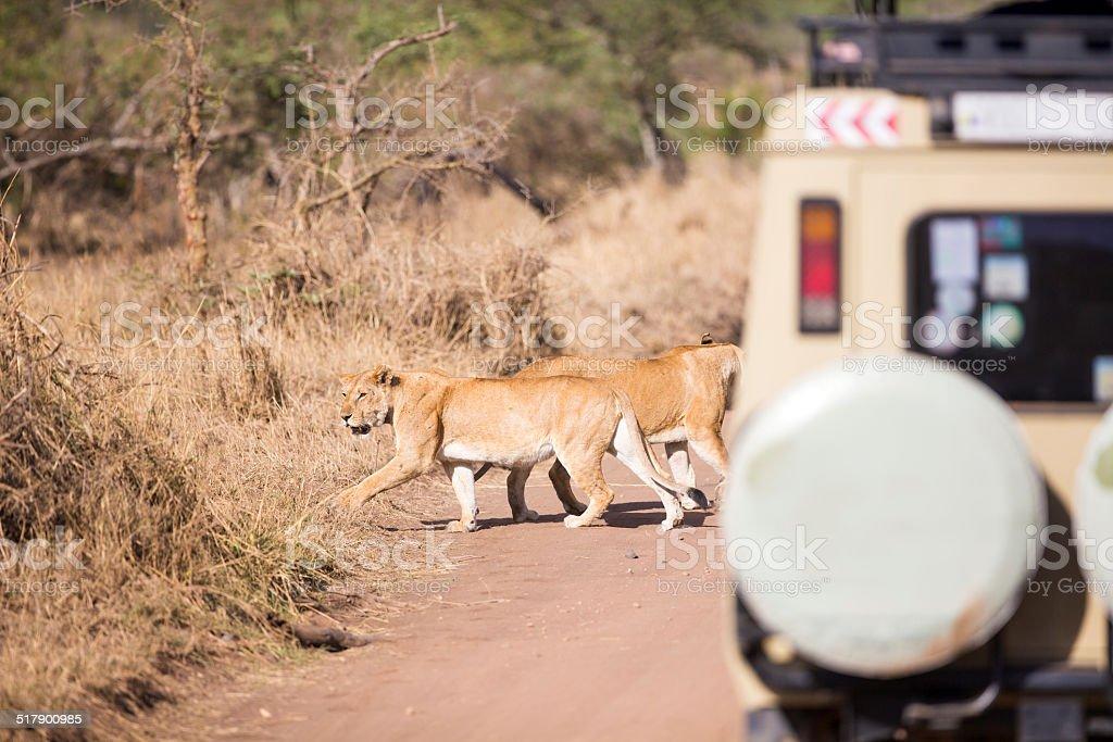 Wildlife safari tourists on game drive stock photo