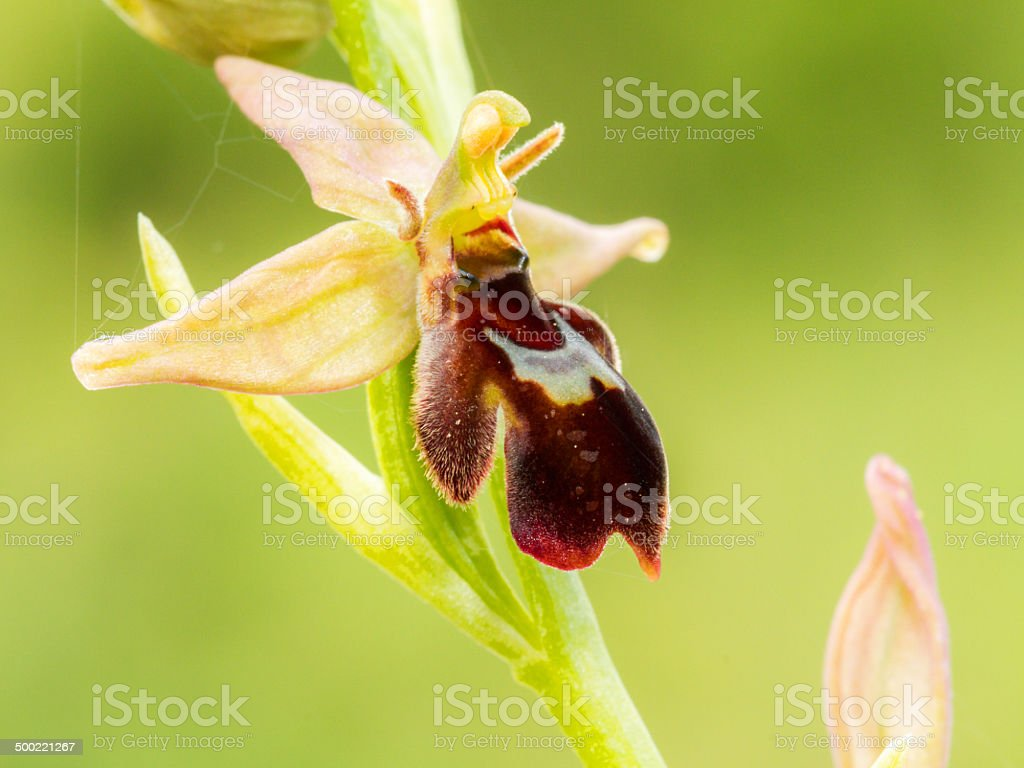 - Spinne Biene Orchid Lizenzfreies stock-foto