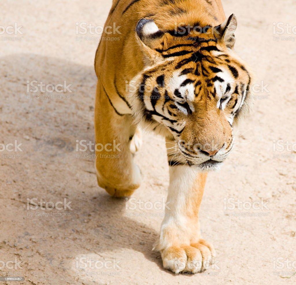 wildlife tiger royalty-free stock photo
