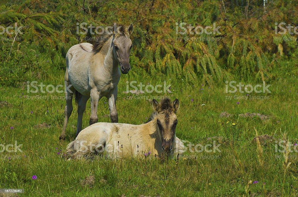 Wildpferdefohlen Konik Polski royalty-free stock photo