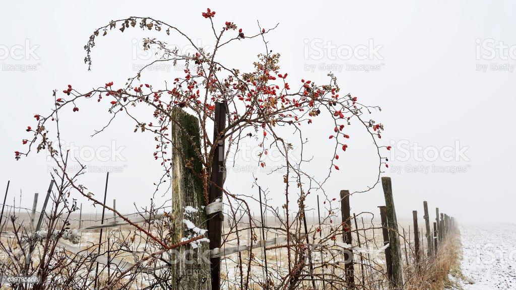 Wildrose am Zaun mit Hagebutten im Winter stock photo
