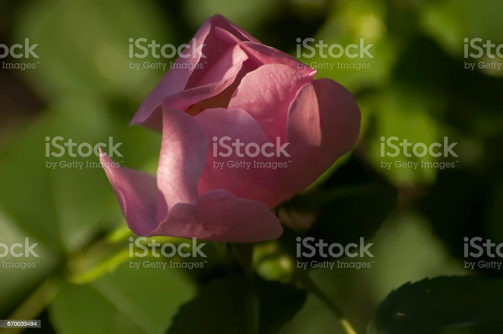 Wildrose branch with pink  bloom in glade stock photo