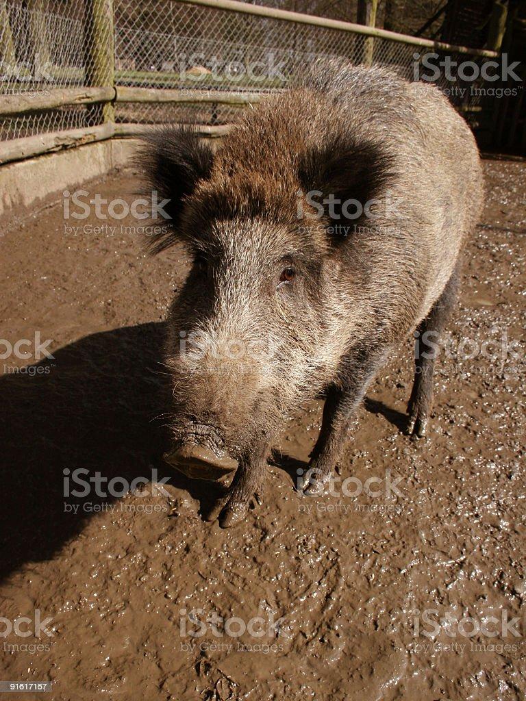 Wildschwein royalty-free stock photo