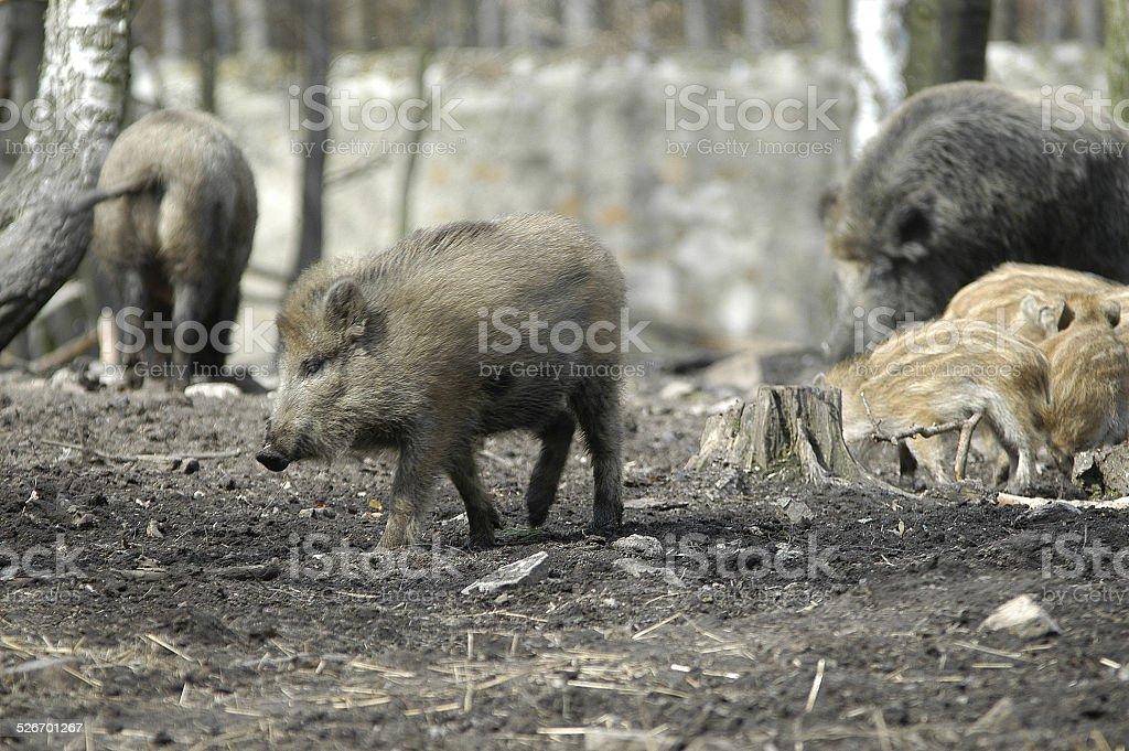 wildschwein.1 stock photo