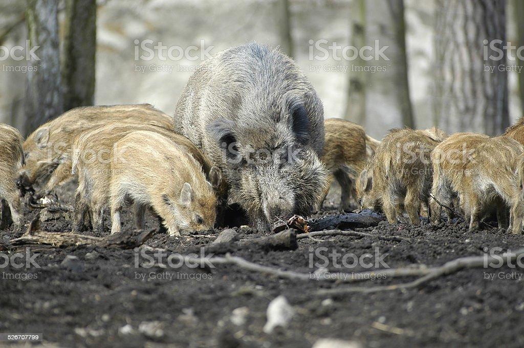 wildschweine stock photo