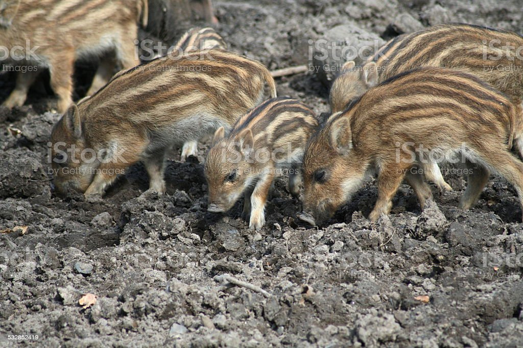 Wildschweine und Frischlinge stock photo