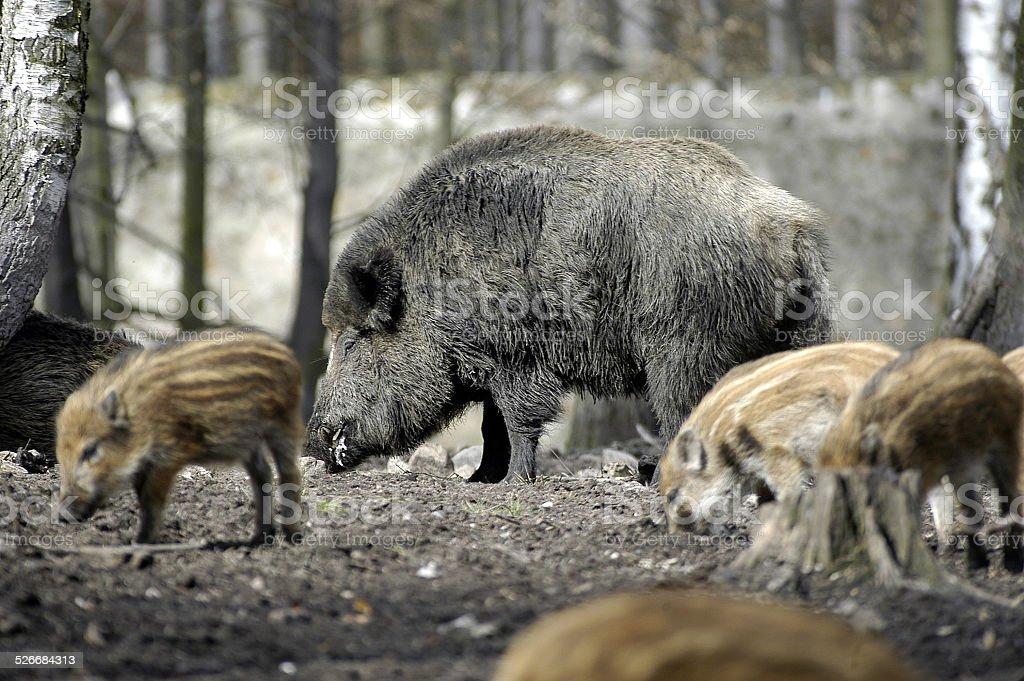 wildschweine.2 stock photo