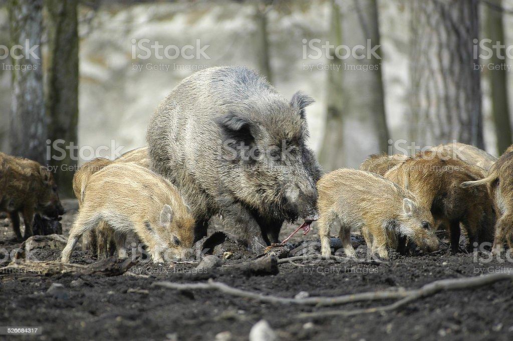 wildschweine.3 stock photo
