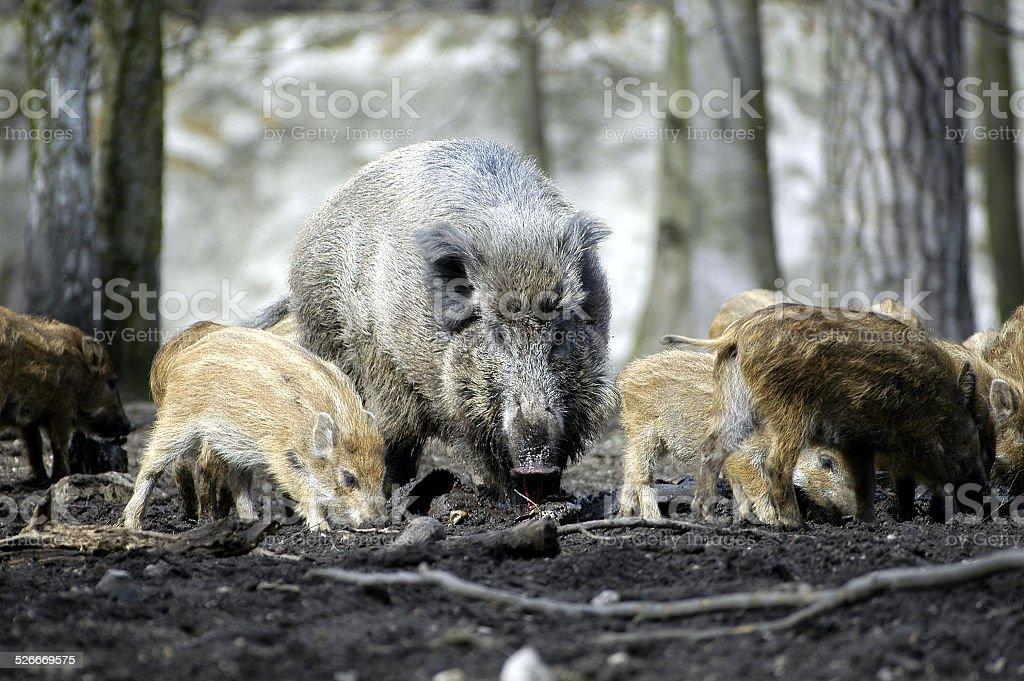 wildschweine.4 stock photo