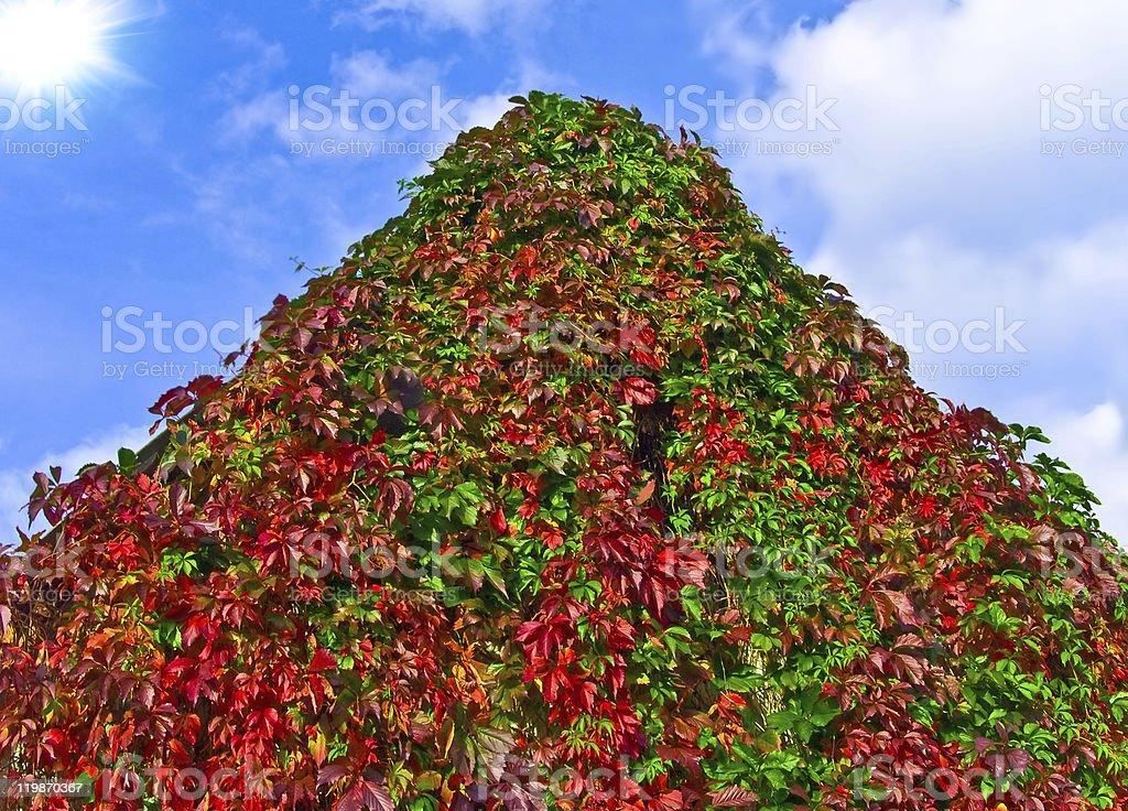 Wild-vine stock photo