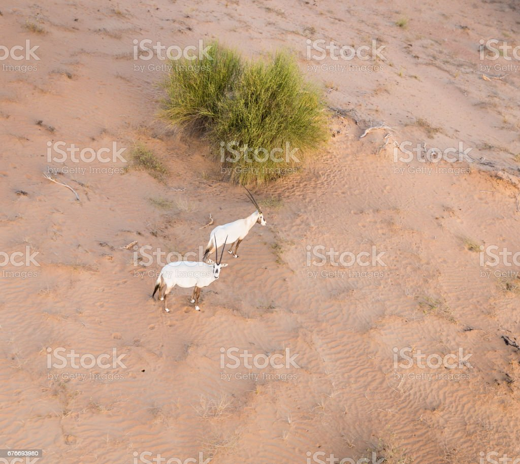 Wiled Arabian Oryxes on Dubai Desert Viewed from Hot Air Balloon stock photo