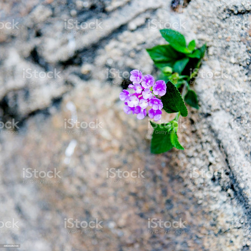 wilfflower growing on a wall stock photo