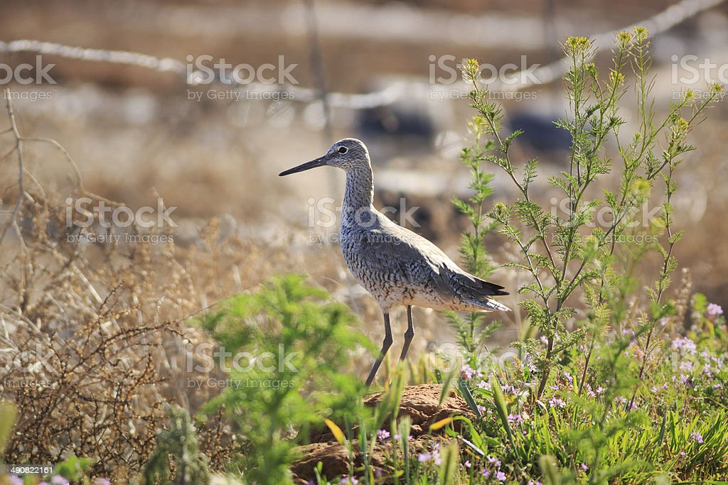 Willet in Arizona royalty-free stock photo