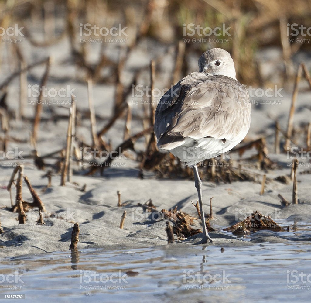 Willet (Tringa semipalmata ) keeping a wary eye open royalty-free stock photo