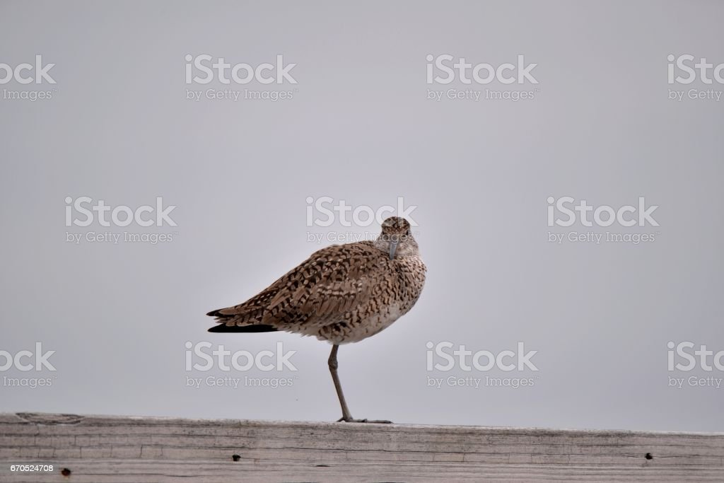 Willet Looking at Camera stock photo