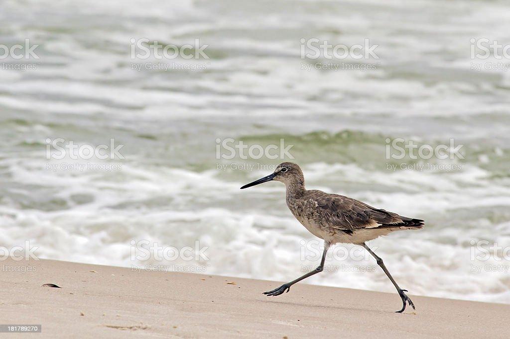 Totano semipalmato esecuzione sulla spiaggia foto stock royalty-free