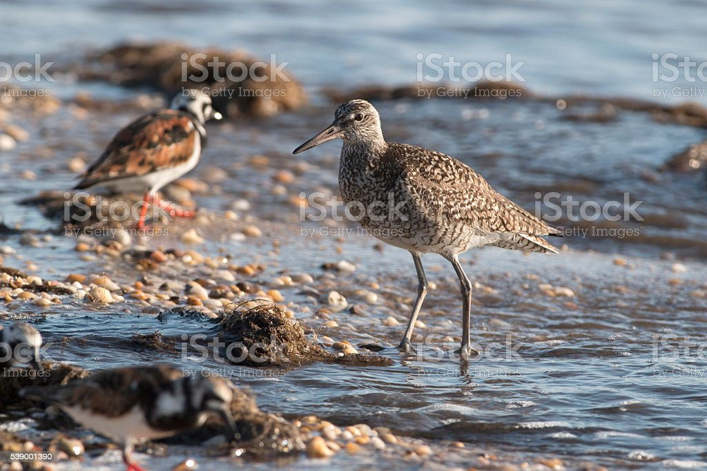 Willet sandpiper ruddy turnstones Slaughter Beach Delaware Bay stock photo