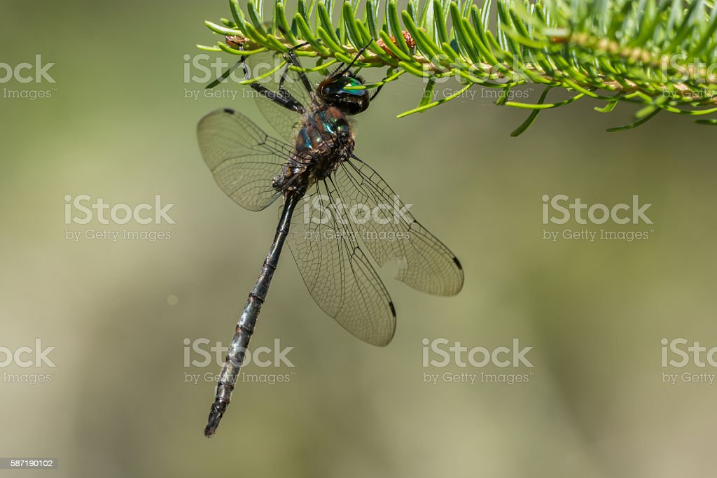 Williamson's Emerald Dragonfly stock photo