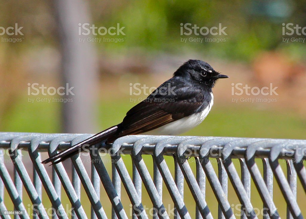 Willie wagtail stock photo