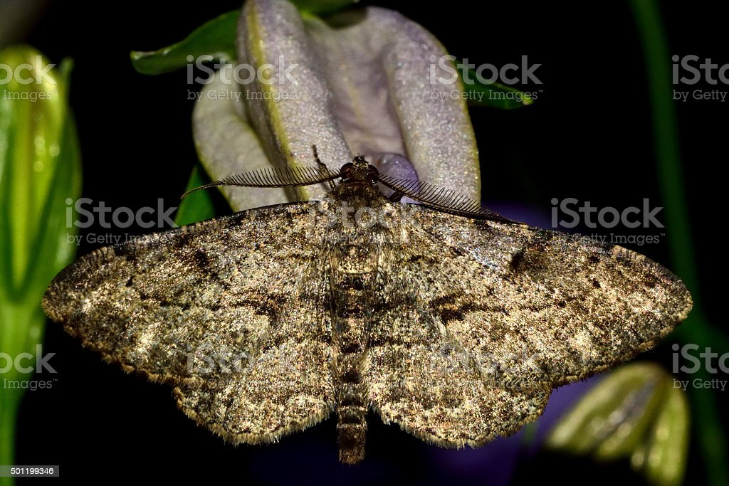 Willow beauty moth (Peribatodes rhomboidaria) at rest on flower stock photo