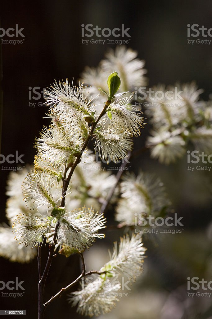 Willow blooming royalty-free stock photo
