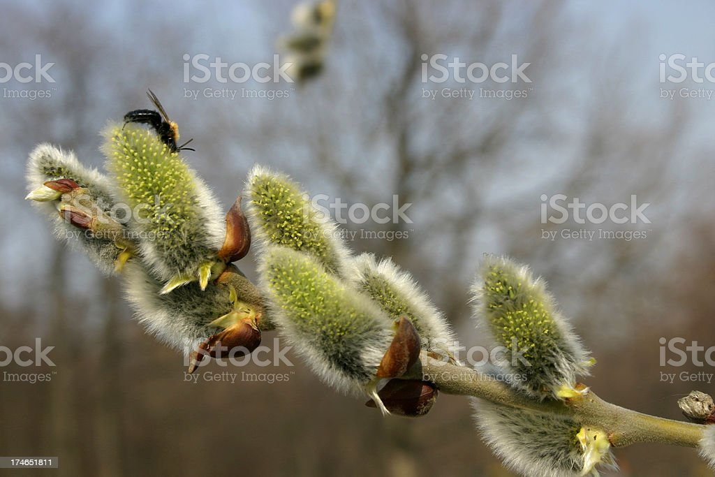 Willow branch stock photo