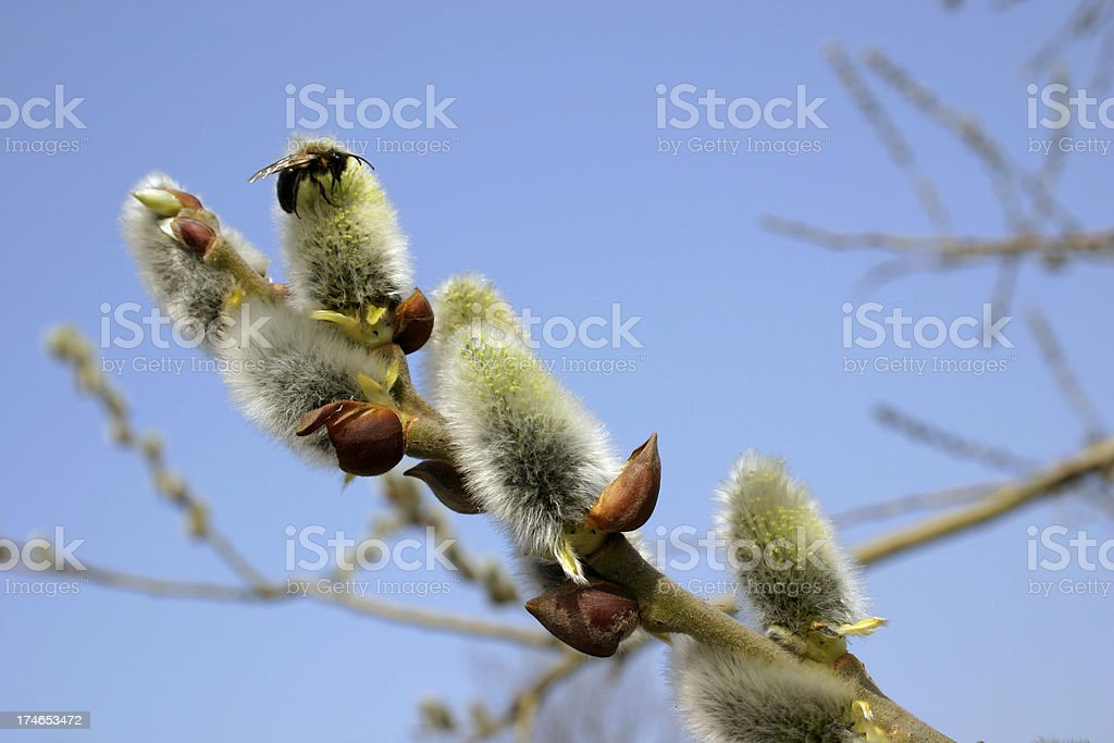 Willow branch royalty-free stock photo