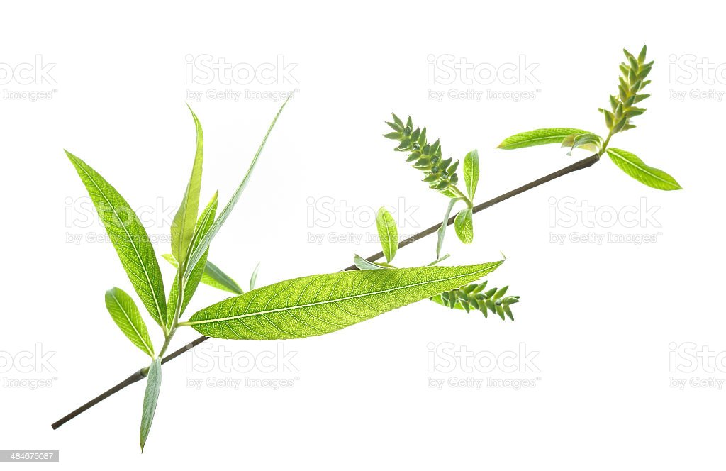 Willow branch with blossom buds isolated stock photo
