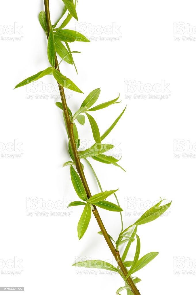 Willow branch with buds stock photo