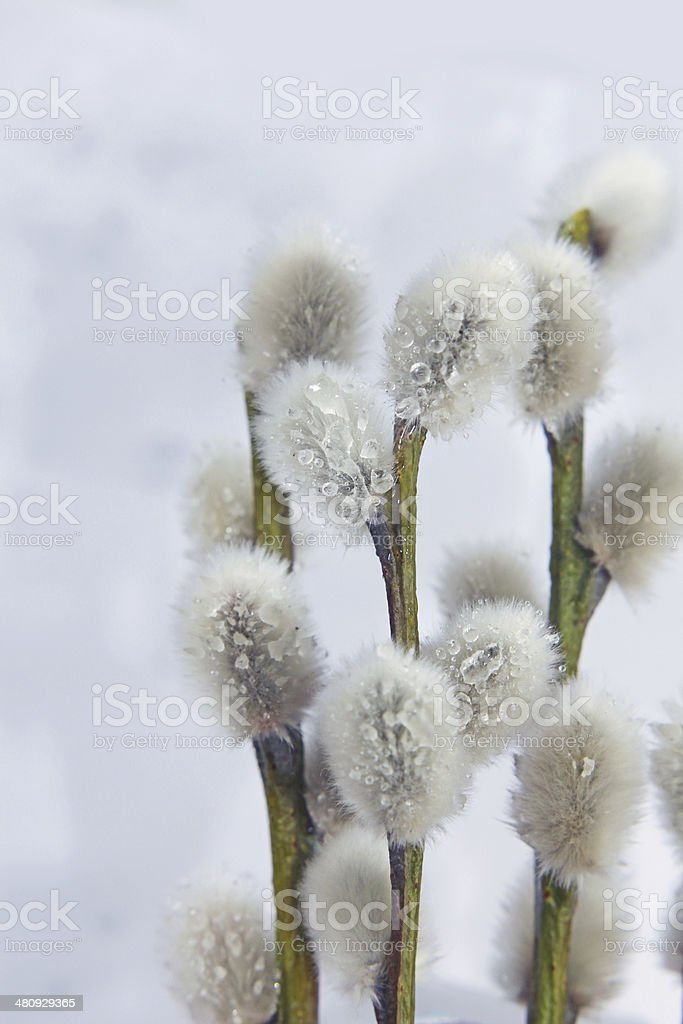 Willow branch with catkins stock photo