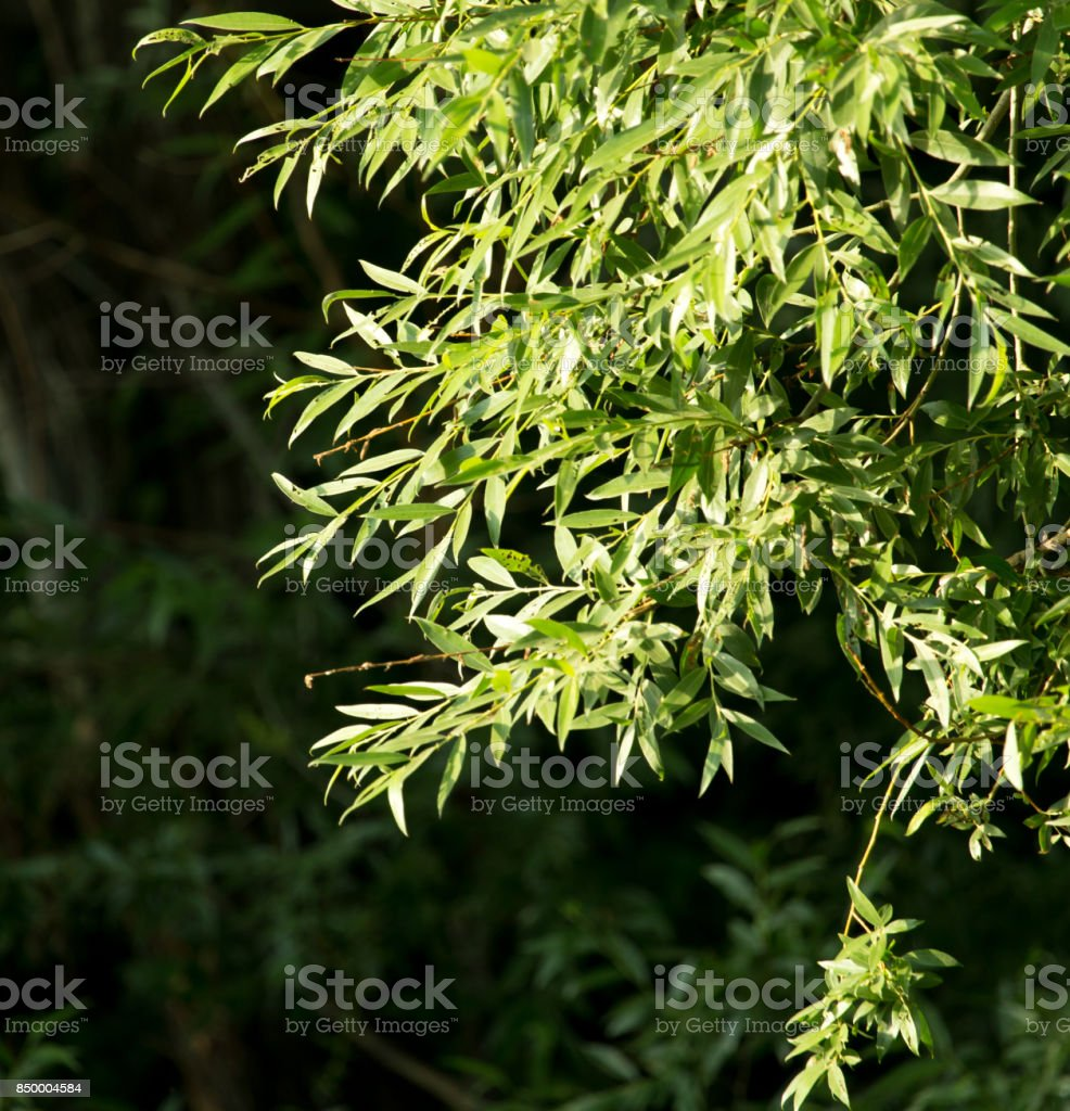 willow branches stock photo