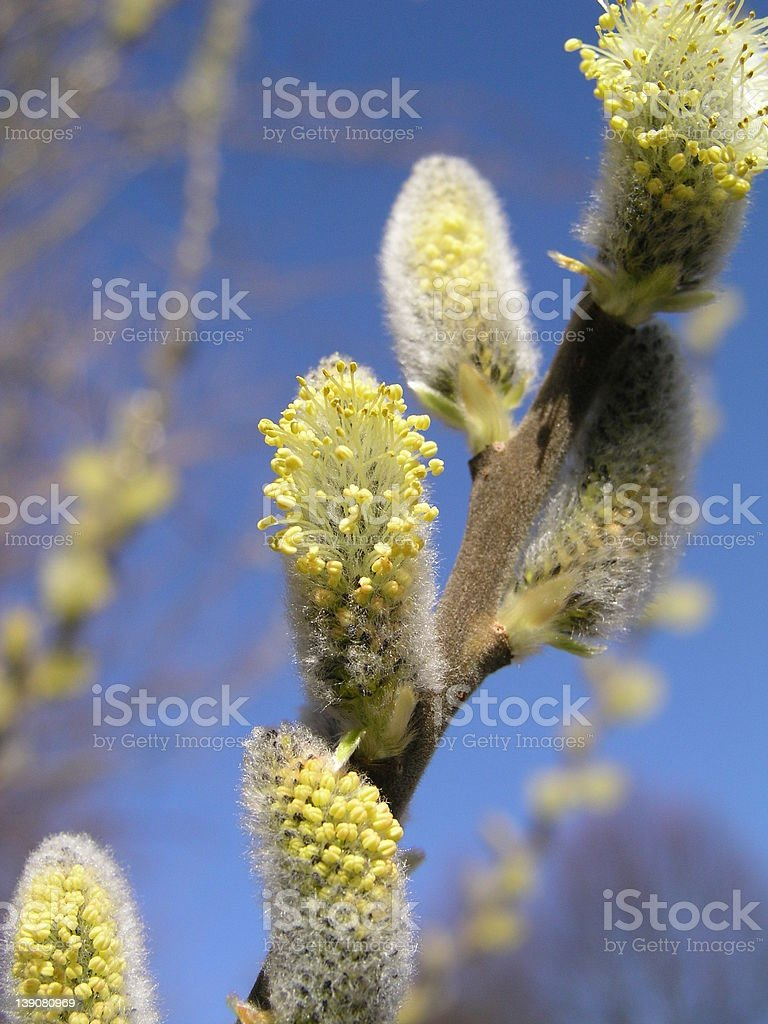 Willow Catkin royalty-free stock photo
