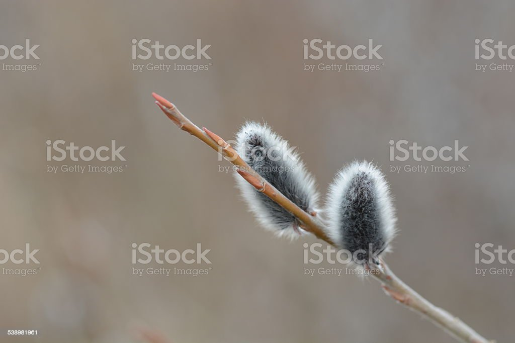 willow catkins stock photo