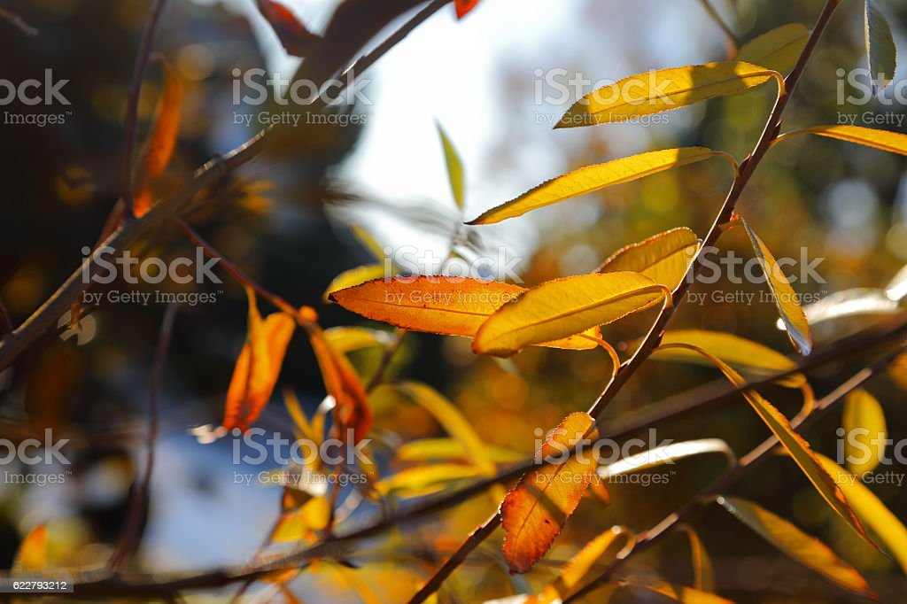 Willow - colors of the fall stock photo
