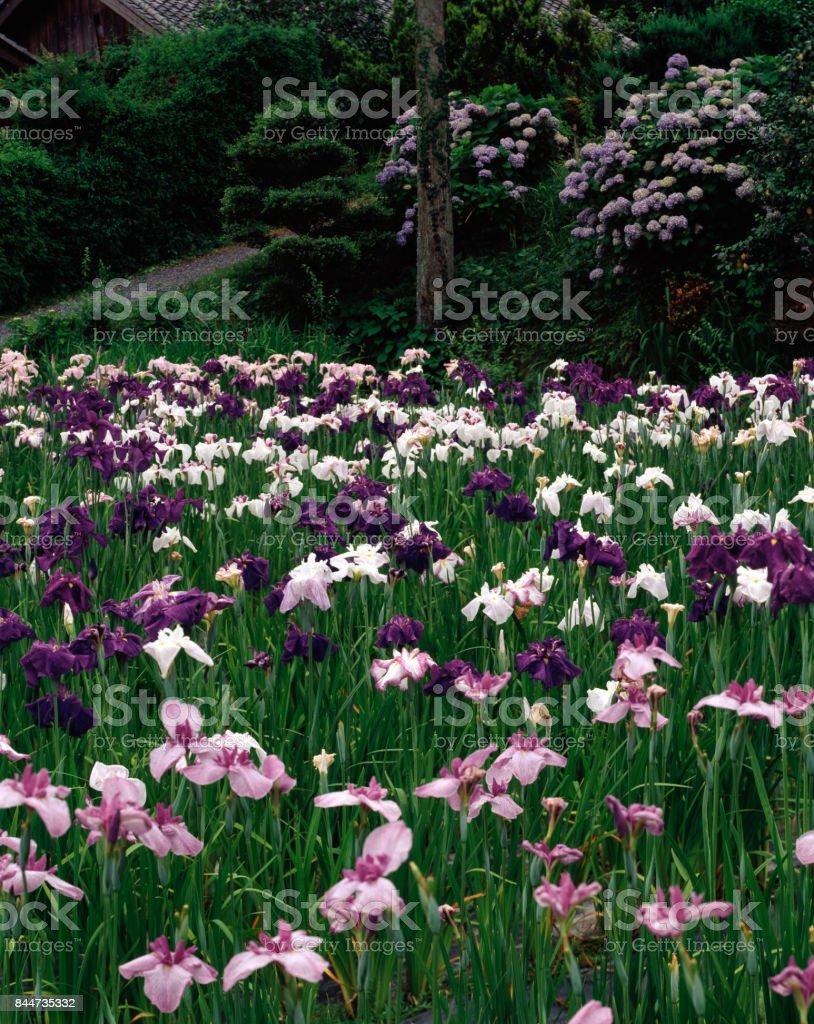 Willow flower iris garden stock photo