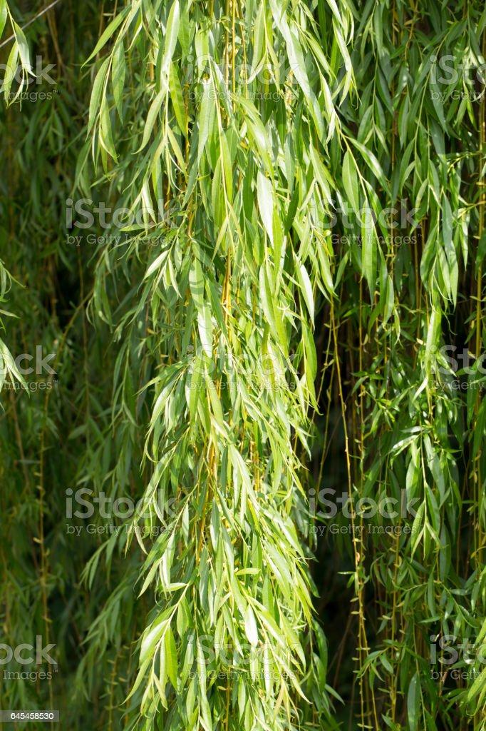 Willow Foliage stock photo