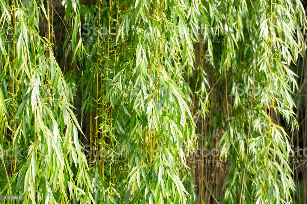 Willow Foliage stock photo