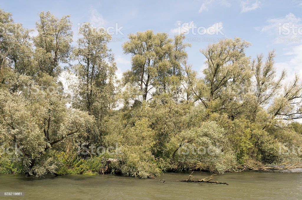Willow forests. stock photo