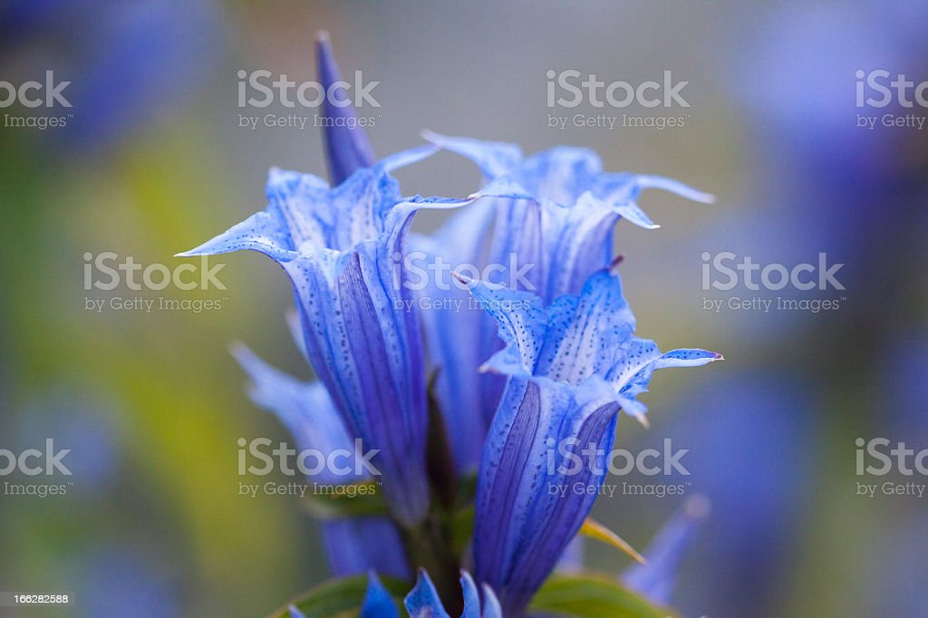 Willow Gentian stock photo