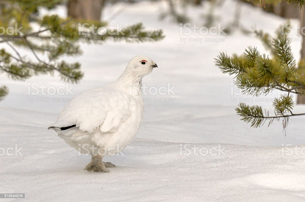Willow Grouse/Ptarmigan or Red Grouse In Snow (Lagopus Lagopus) stock photo
