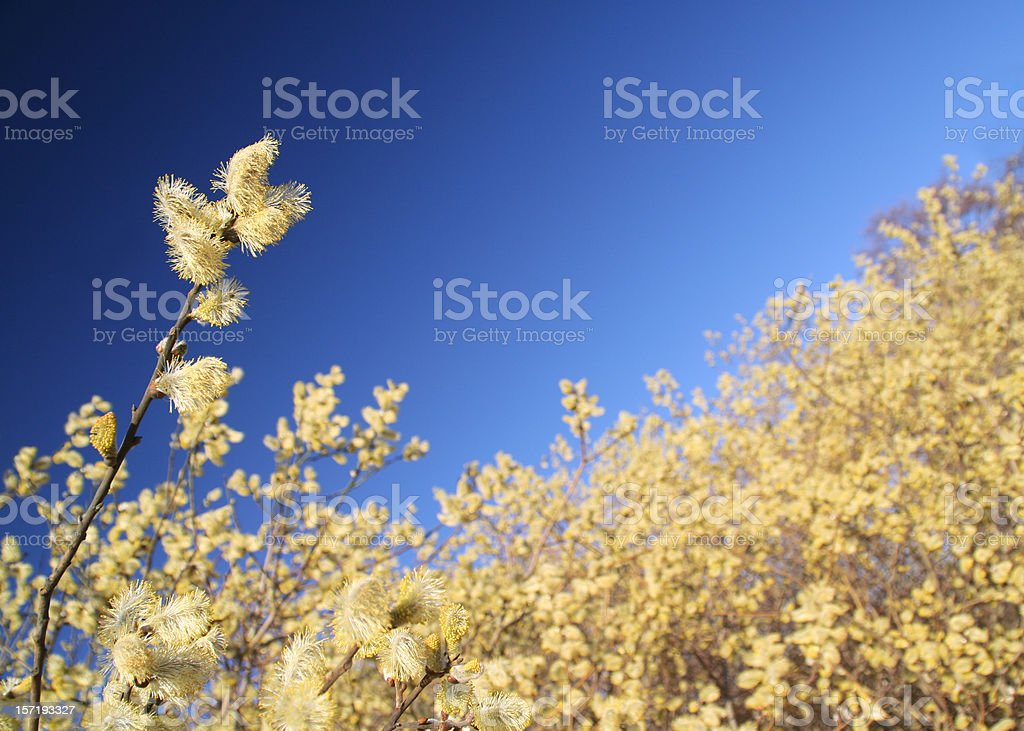Willow in bloom stock photo