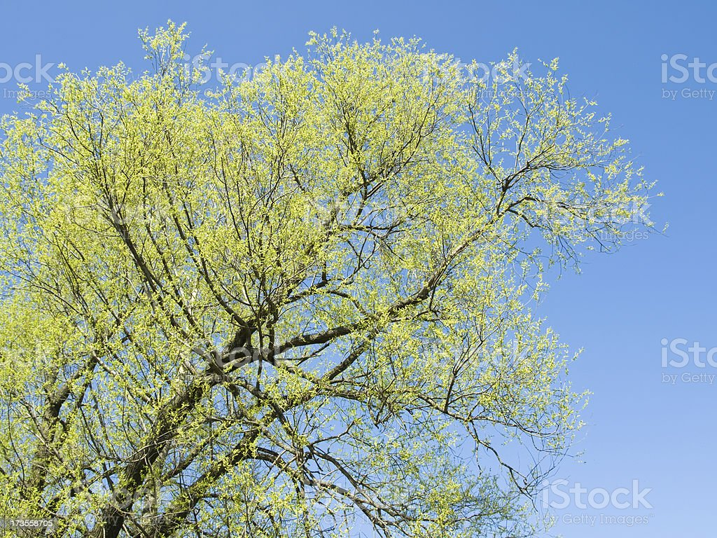 Willow in the spring stock photo
