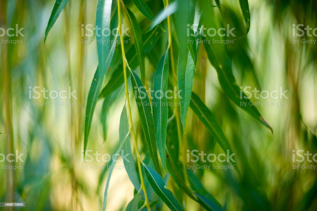Willow leaves close up stock photo