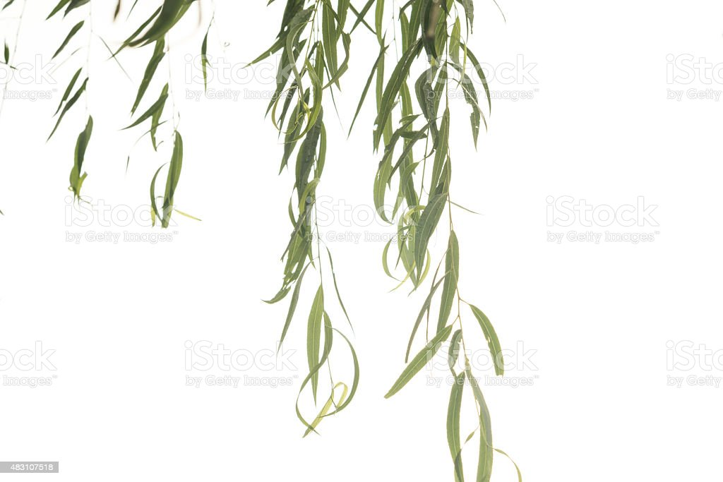 willow leaves stock photo
