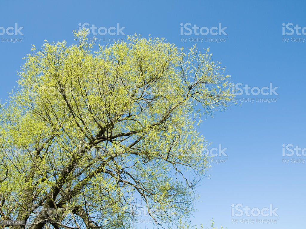 Willow stock photo